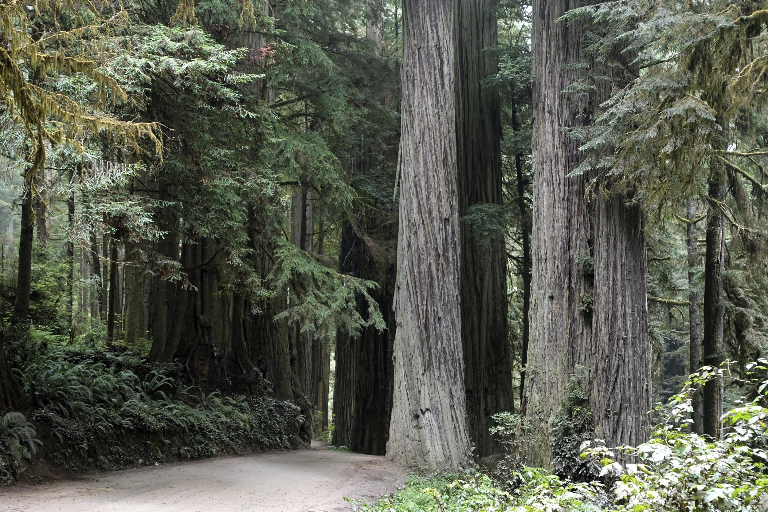210331-jedediah-smith-redwoods-state-par