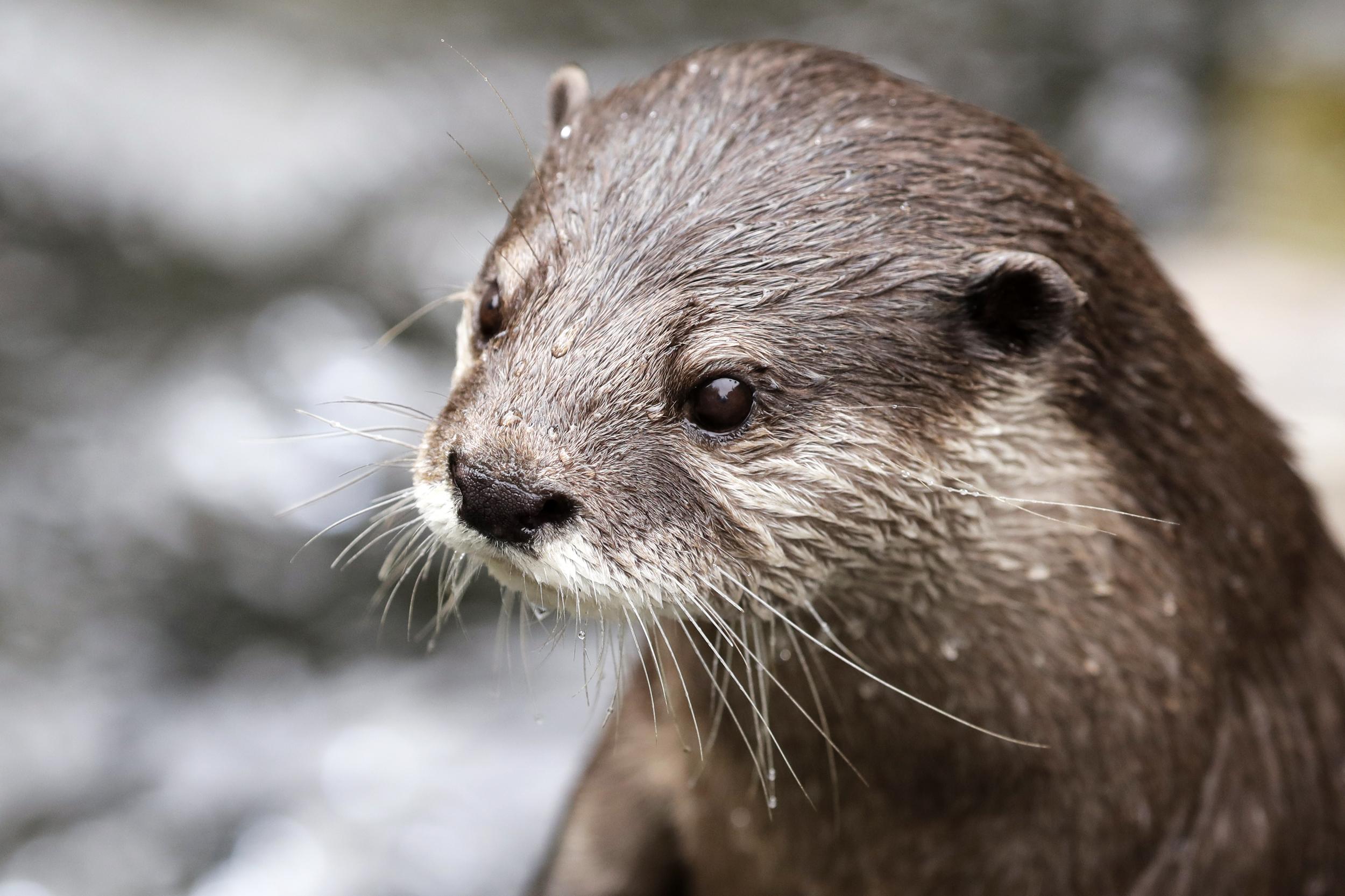 Otters at Georgia Aquarium Test Positive for Coronavirus