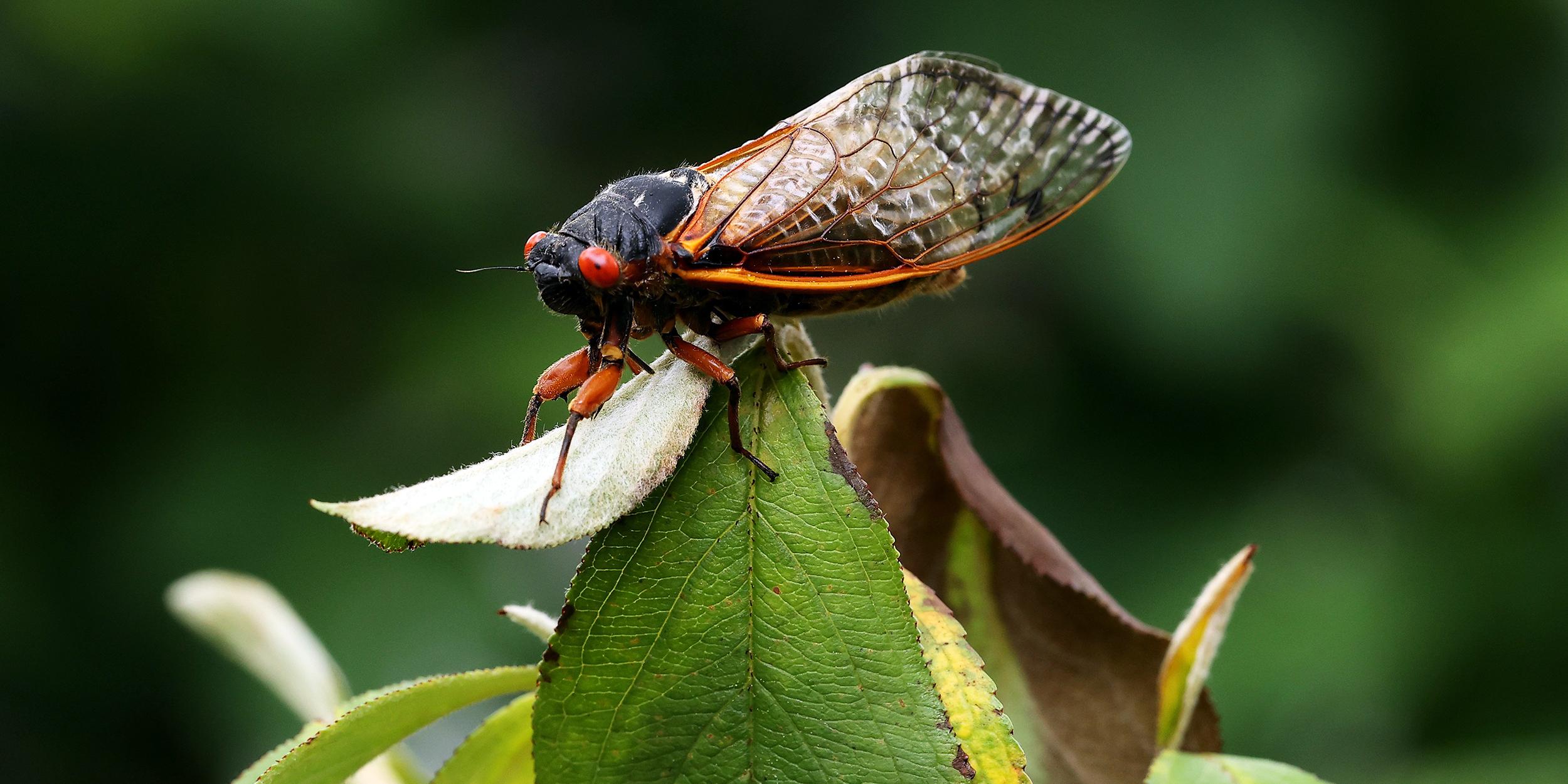 NBC's Hallie Jackson dines on cicada scampi
