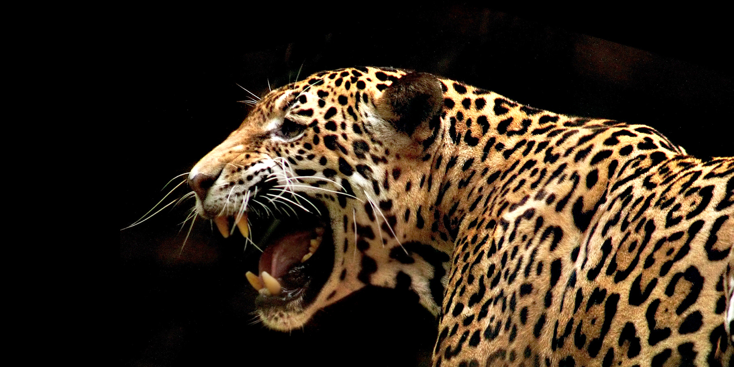 Man injured by jaguar after crossing barrier, Florida zoo says