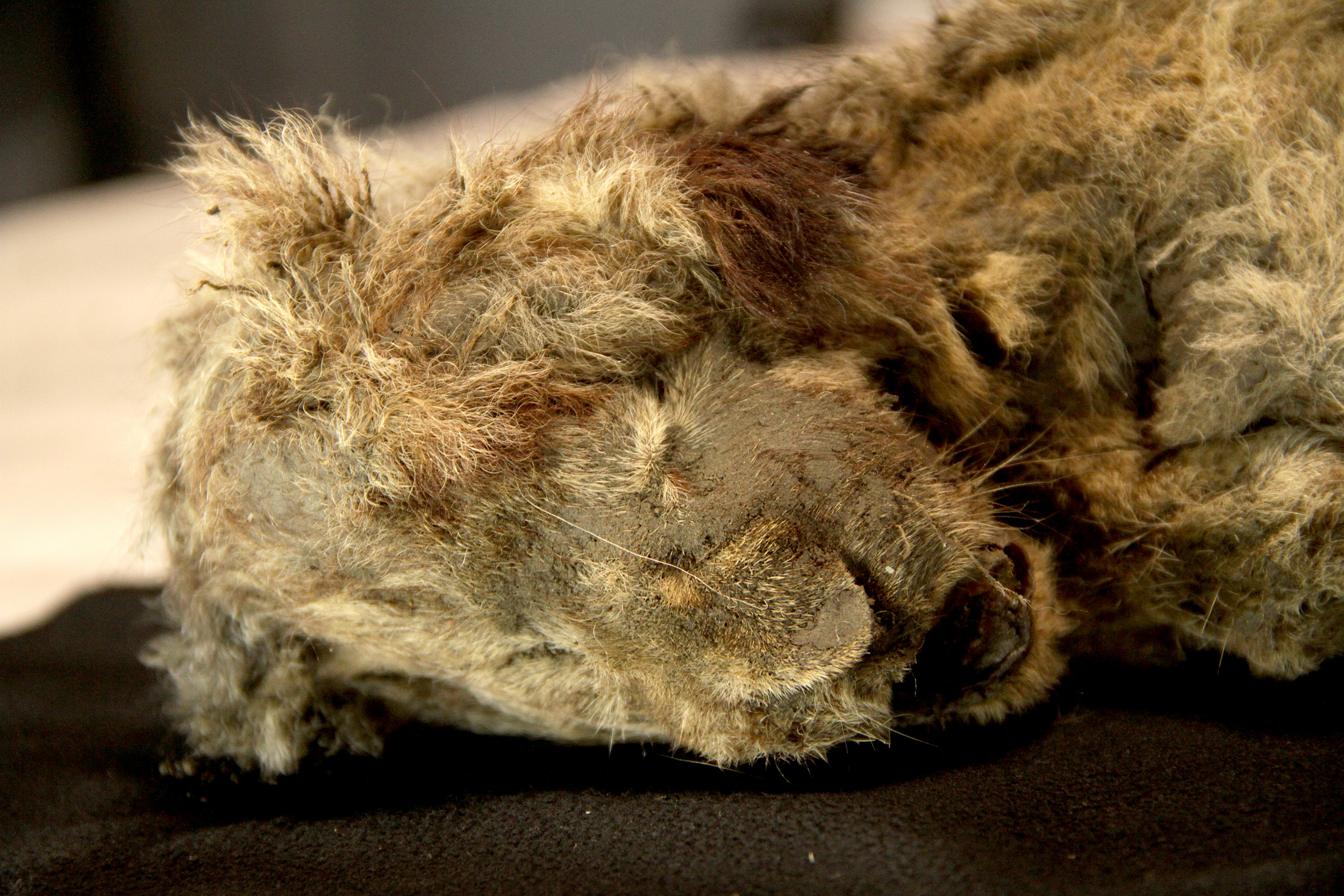 Scientists unveil extinct Ice Age lion cubs pulled from Russian permafrost