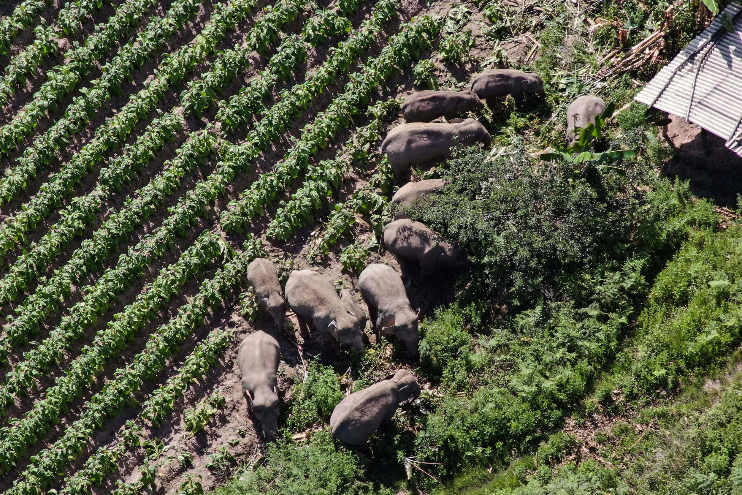 There's no place like home? China's wandering elephants may be ending their epic journey