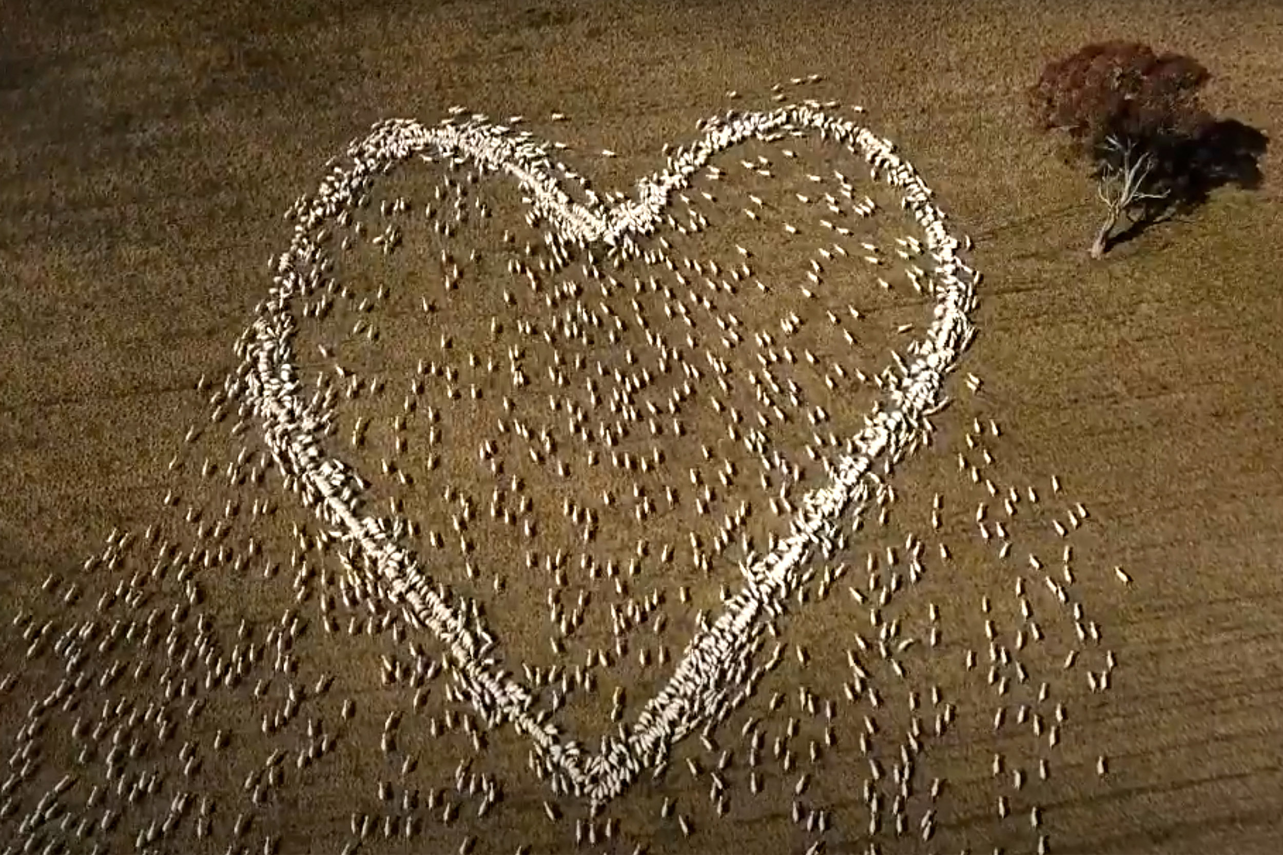 This farmer mourned his beloved aunt with heart-shaped love ewes