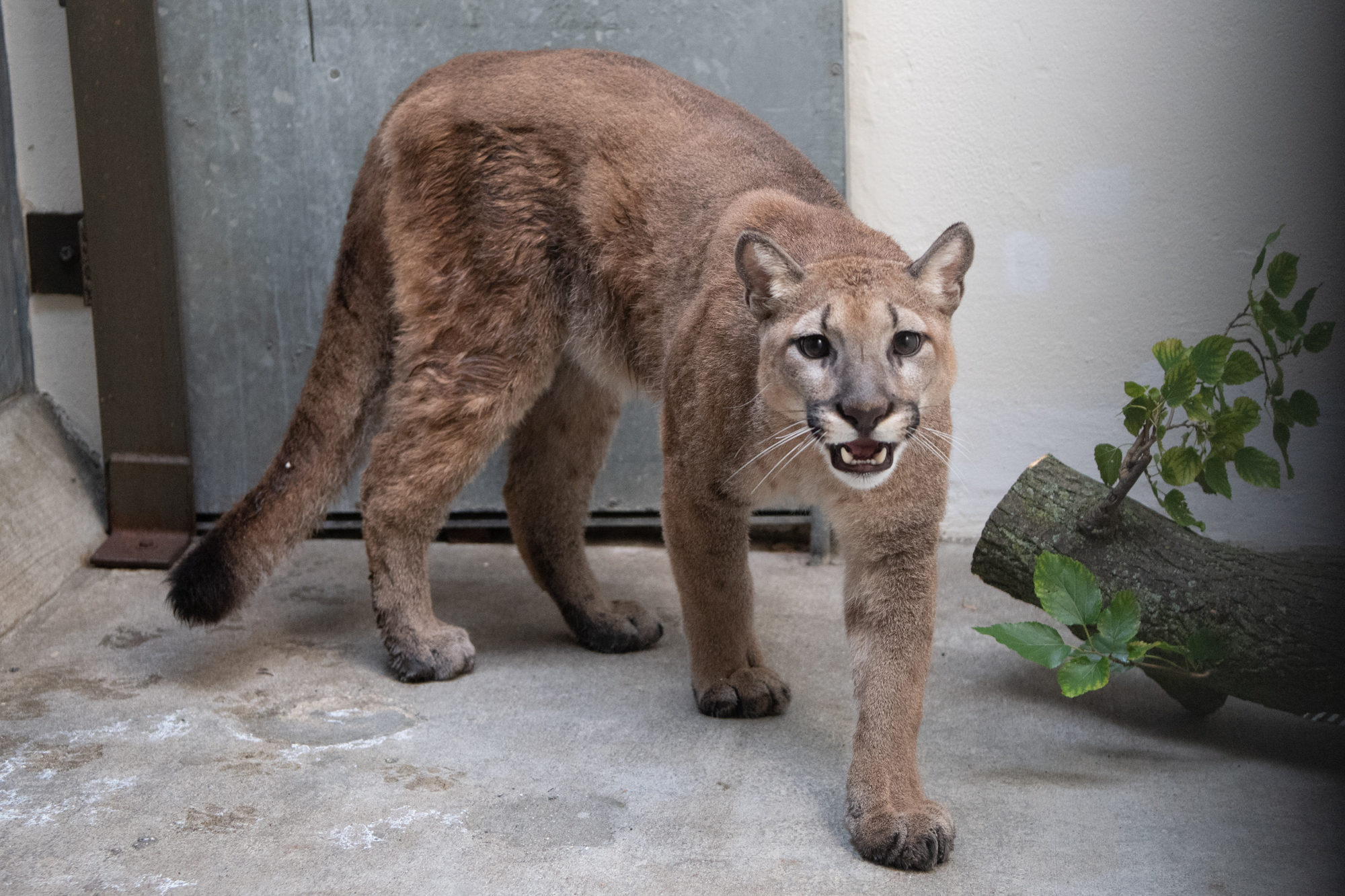 80-pound cougar removed from New York City home