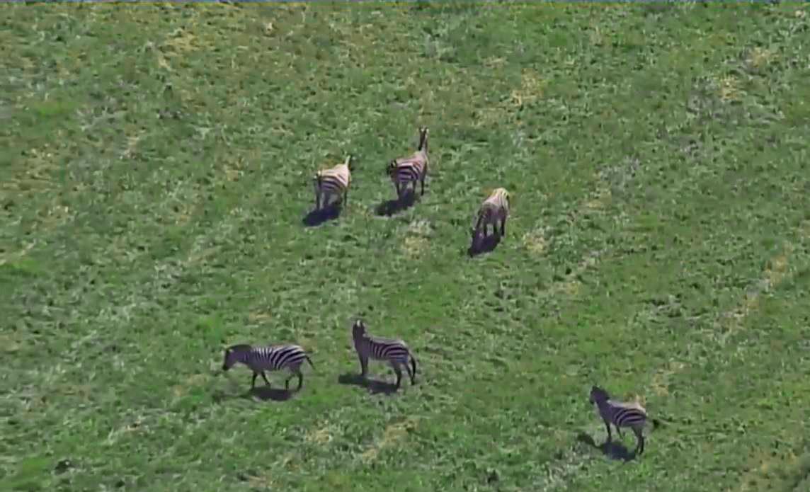Five zebras roam Maryland town, turning heads