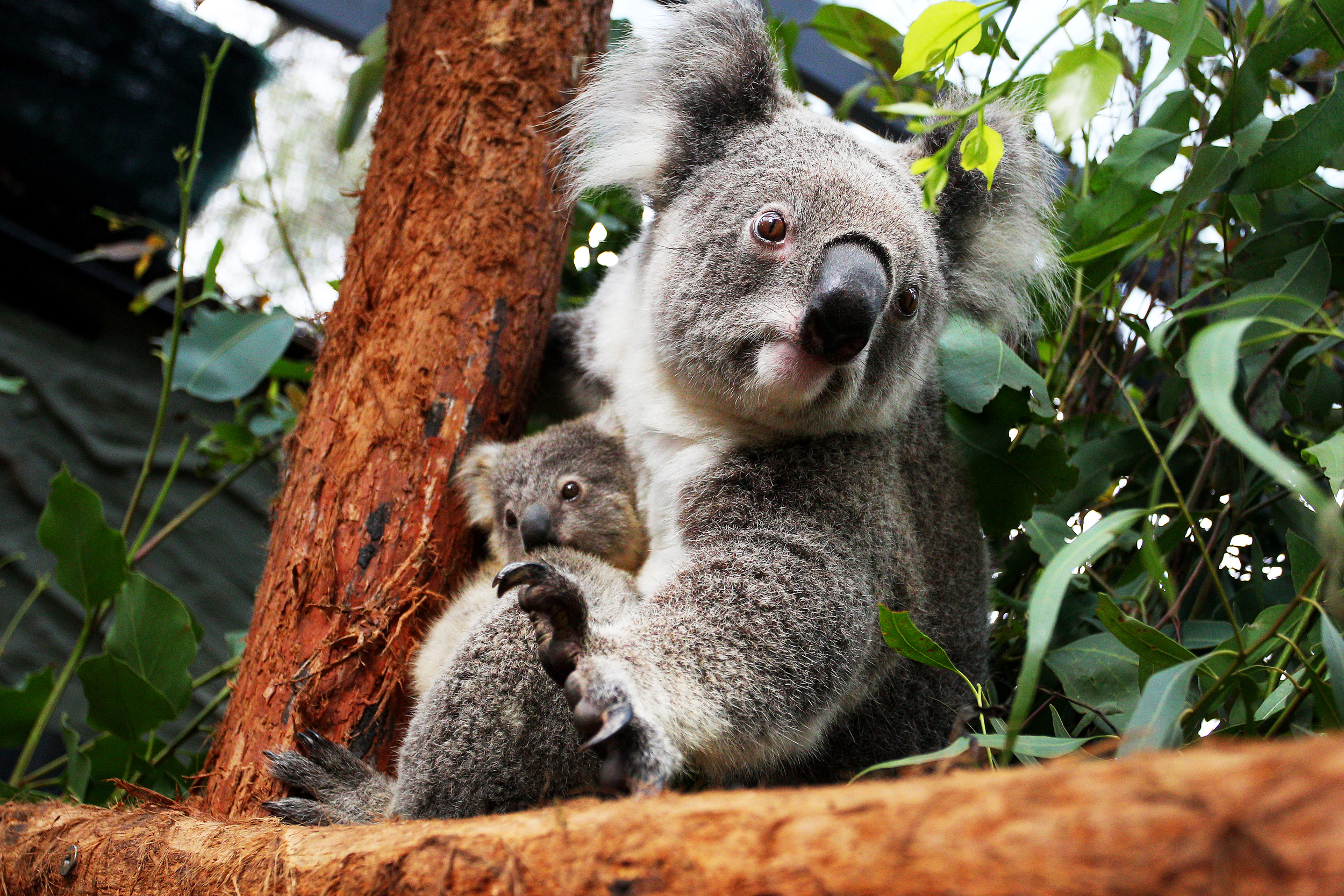 Australia's koalas are in trouble. The question is how much.