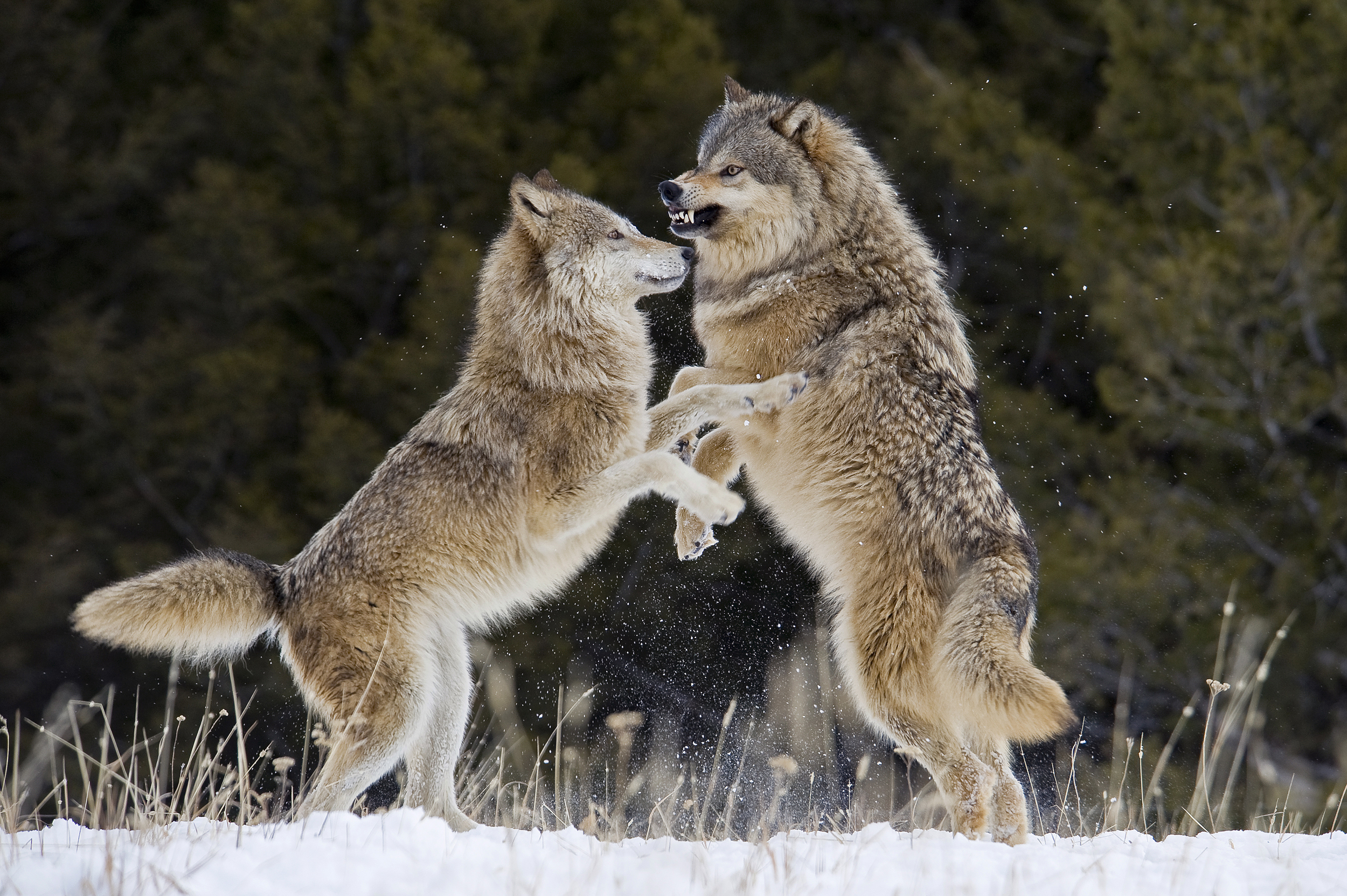 States defend expanded hunting after Biden administration says gray wolves may still need protection