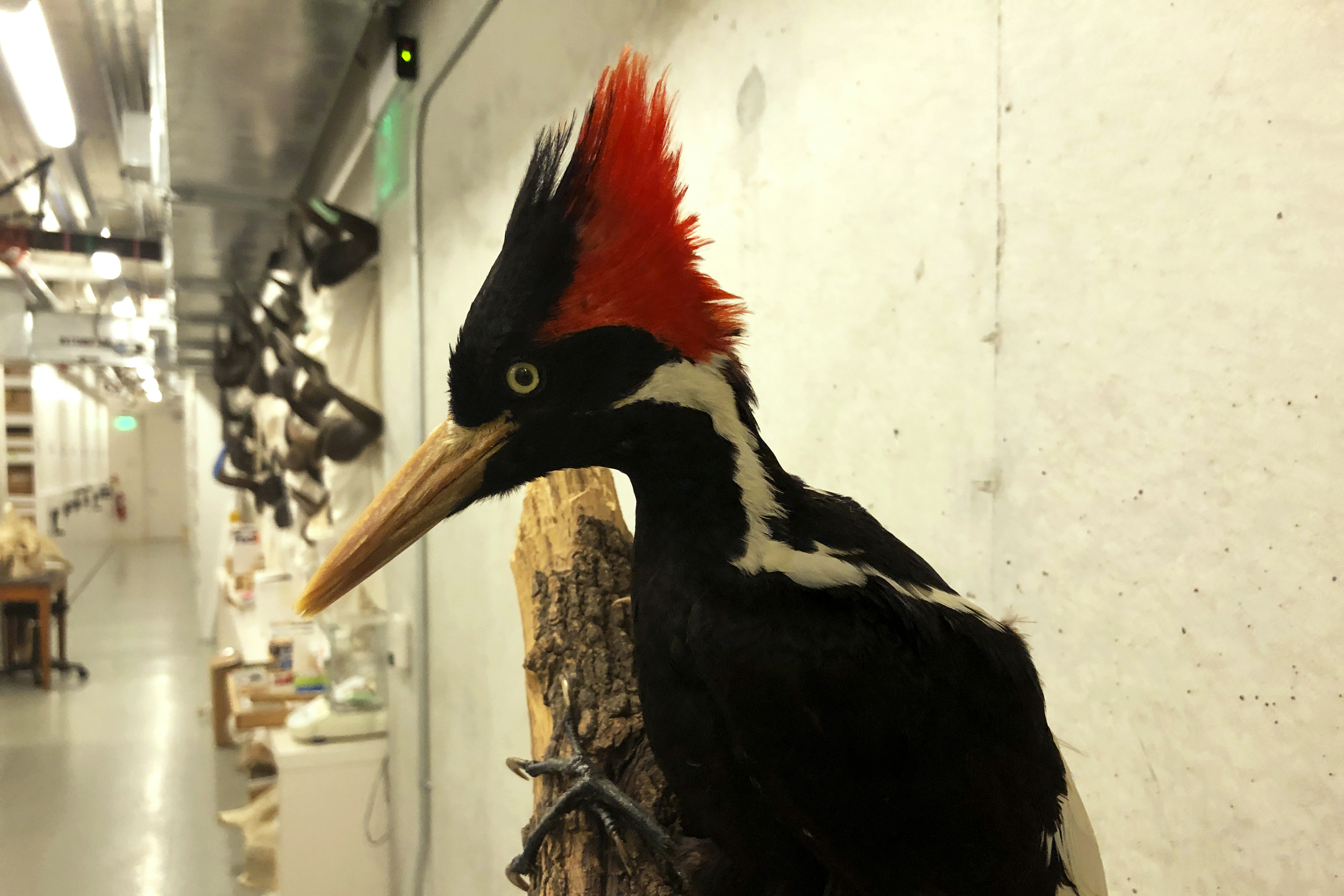 Ivory-billed woodpecker, more than 20 other species declared extinct by U.S. government