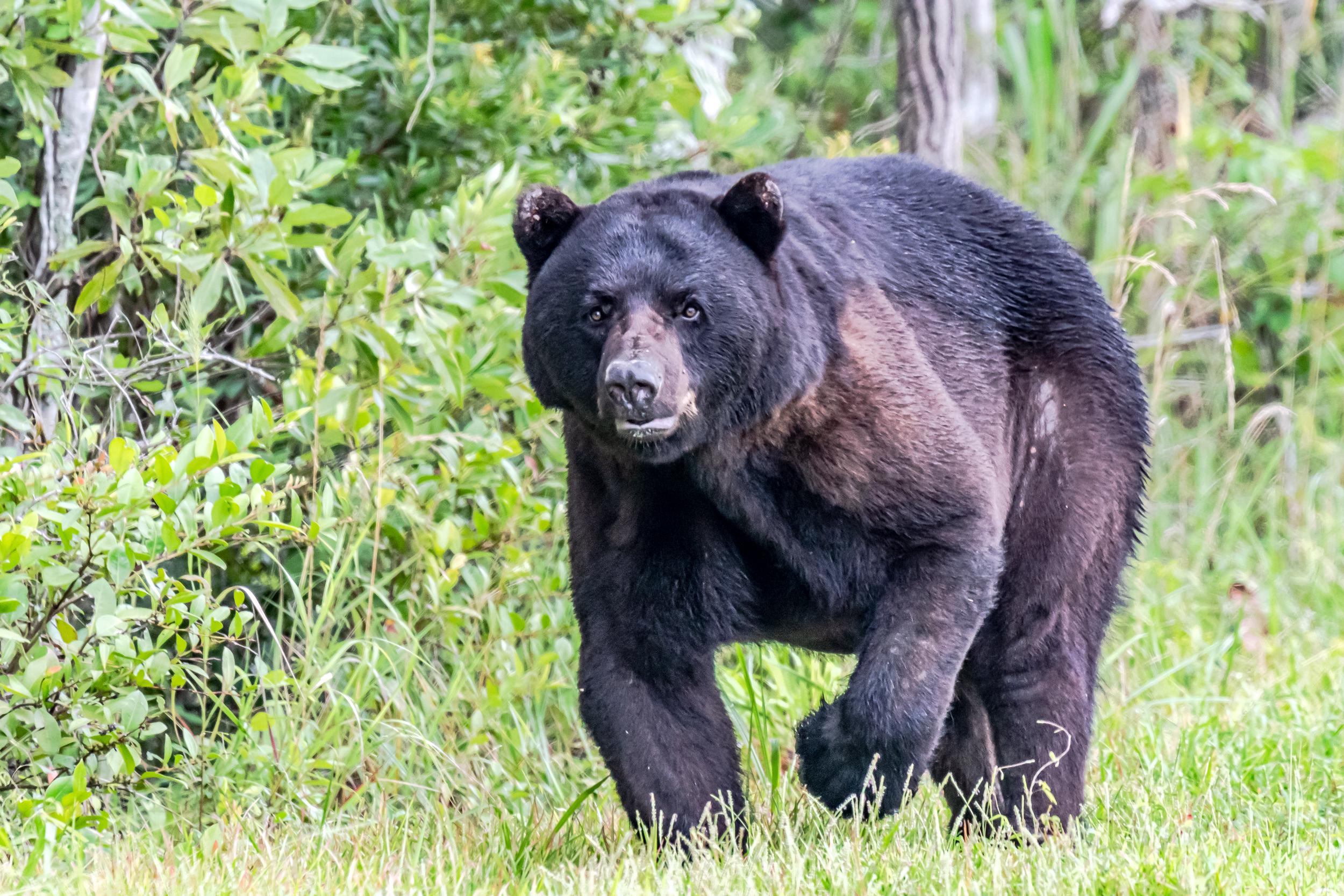 Black bear attacks couple in North Carolina