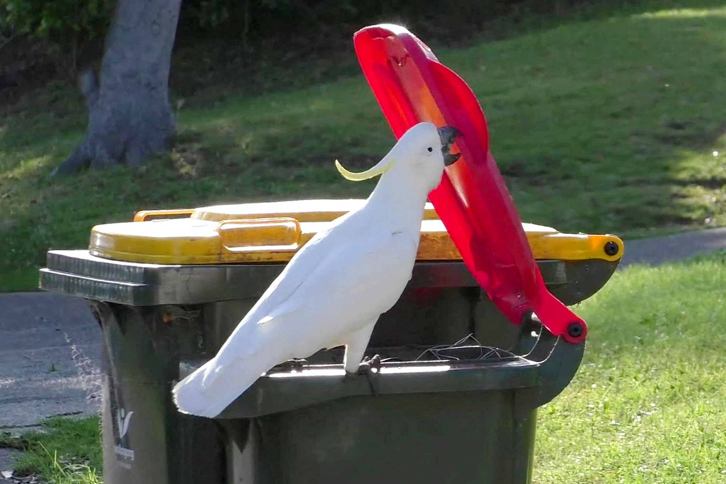 Bird brain: Why a cockatoo trick in Australia has scientists enthralled