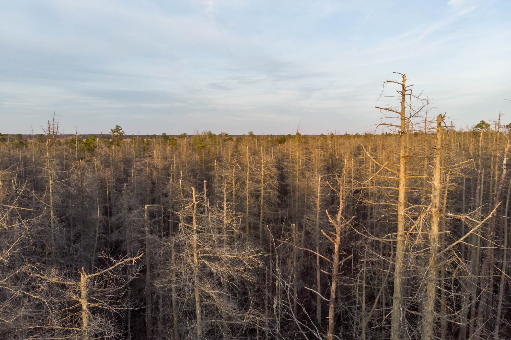 Ghost forests creep up U.S. East Coast