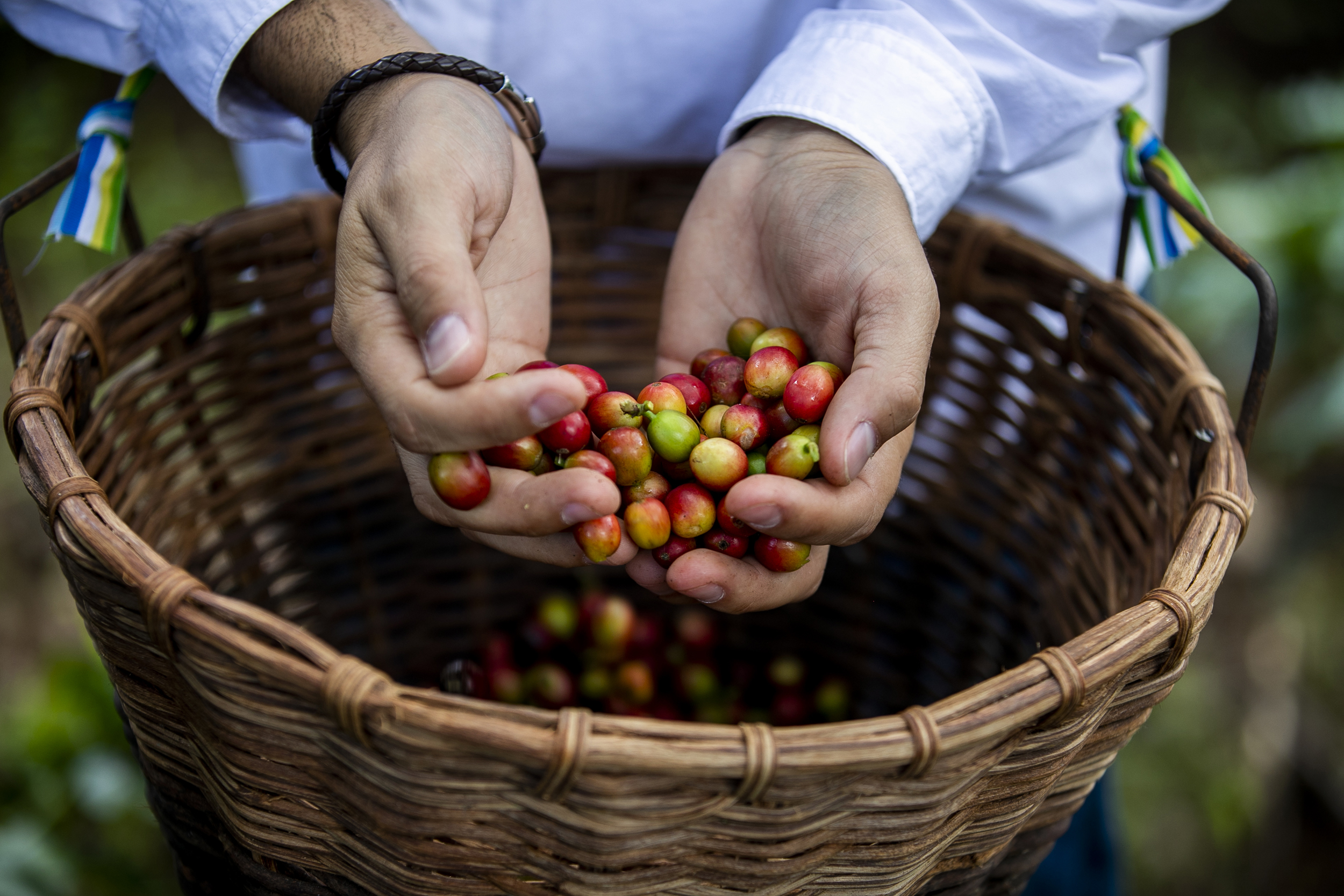 Coffee growers in Puerto Rico bring hope with first harvest after Hurricane Maria