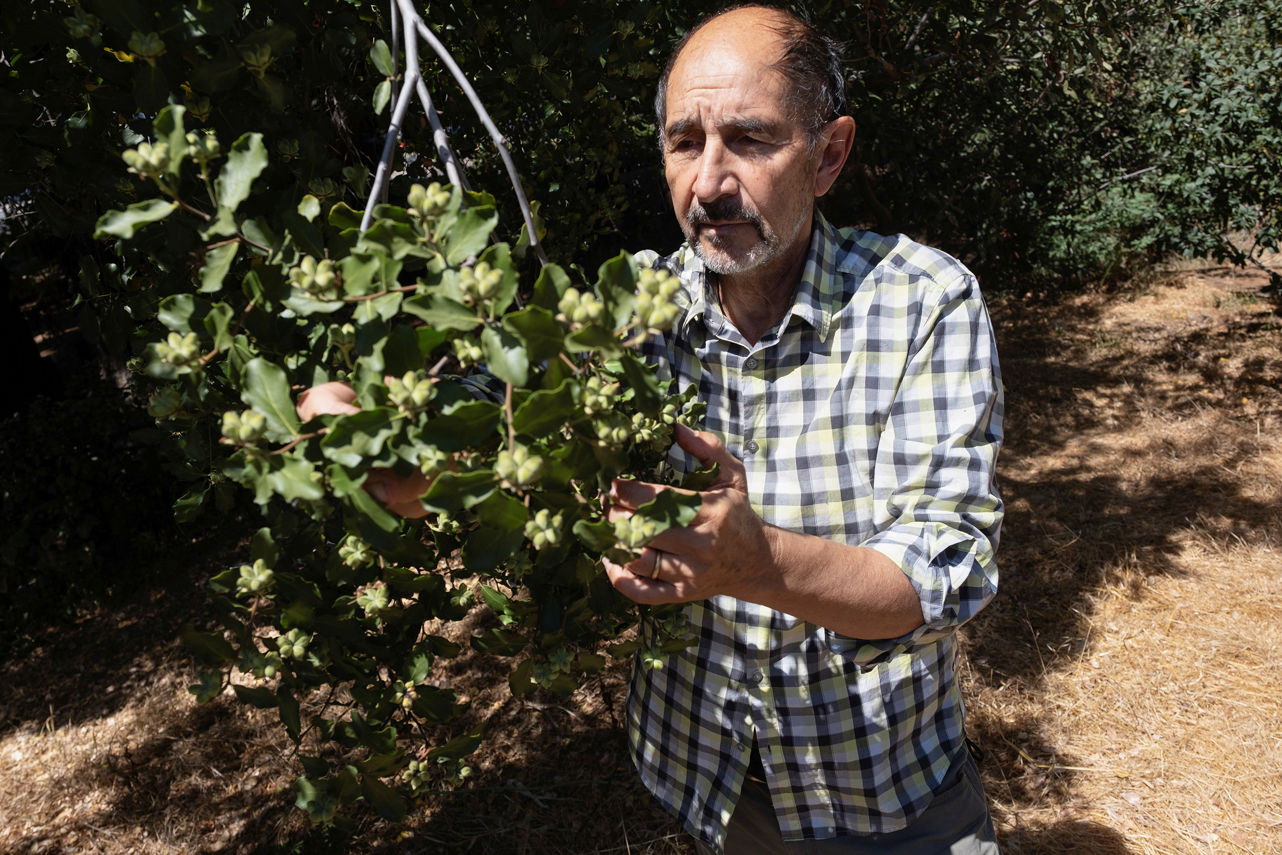 Trees native to Chile hold hope for new Covid-19 vaccine — will there be enough?