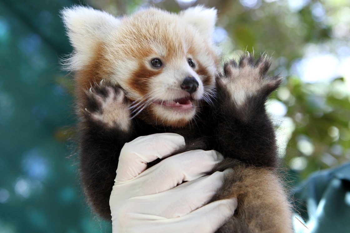 Oh Baby Red Panda Cubs And Dingo Pups Make Adorable Debut