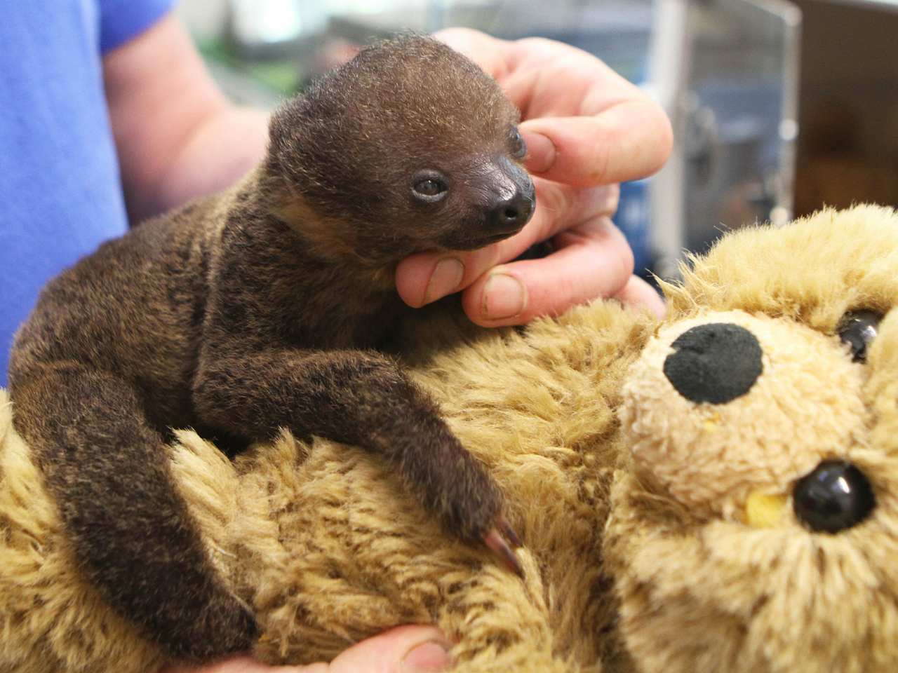 Are You My Mommy Baby Sloth Adopts Teddy Bear As Mother