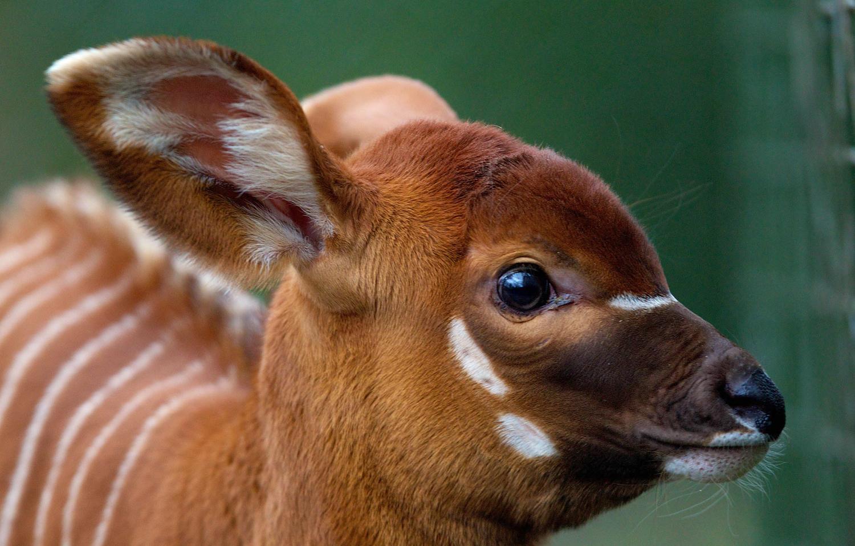 animals unusual bongo baby zoo pets zooborns dublin species wild