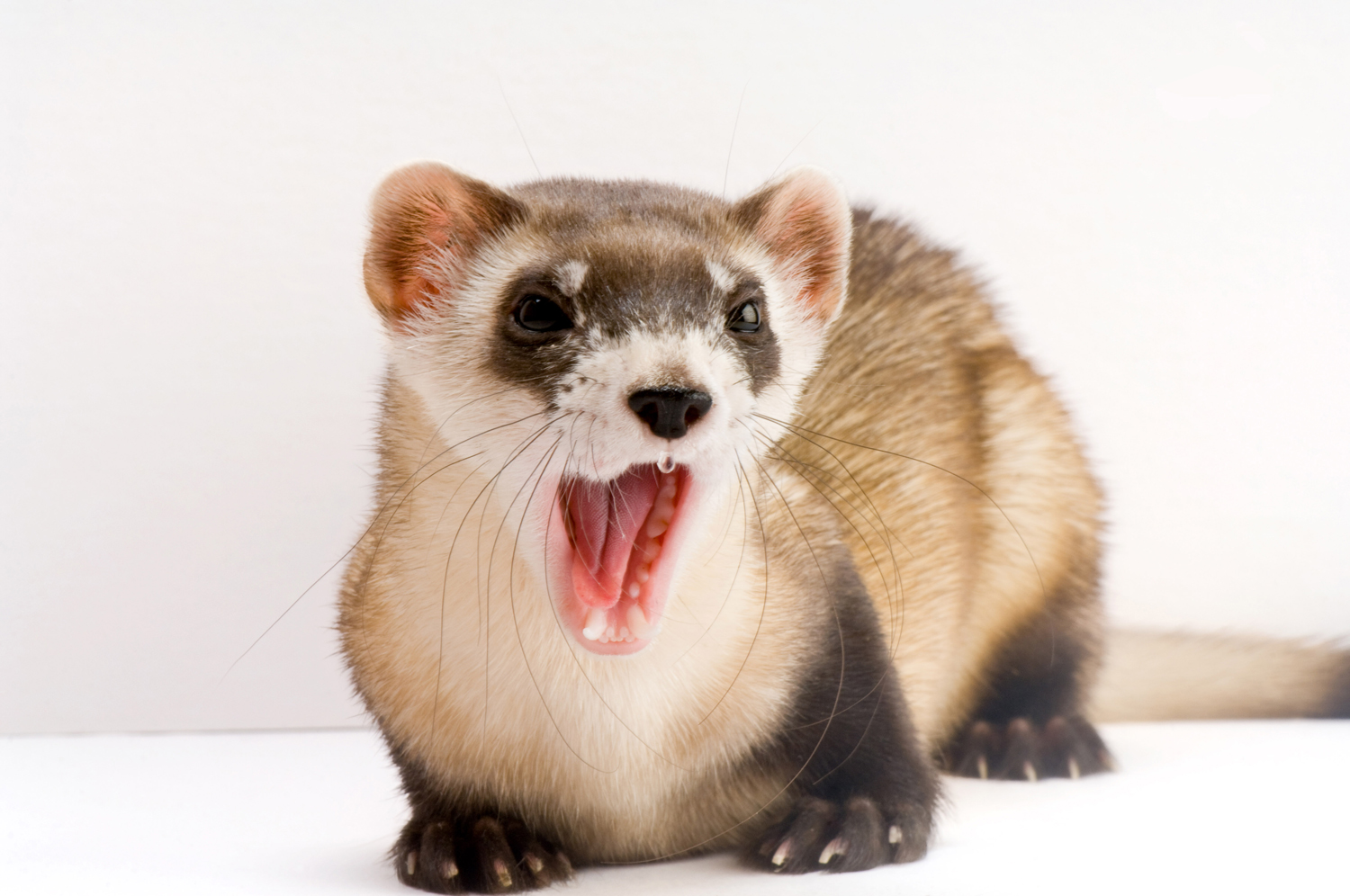 an introduction to the ferrets and their endangerment In 1987, the us black-footed ferret population was near extinction with only 18 individual animals left after captive breeding and conservation efforts, there are now 300 of the creatures alive, but the efforts to save the species have a major pitfall: these hundreds of ferrets are all half siblings, and their prospect of continued survival isn't particularly great.