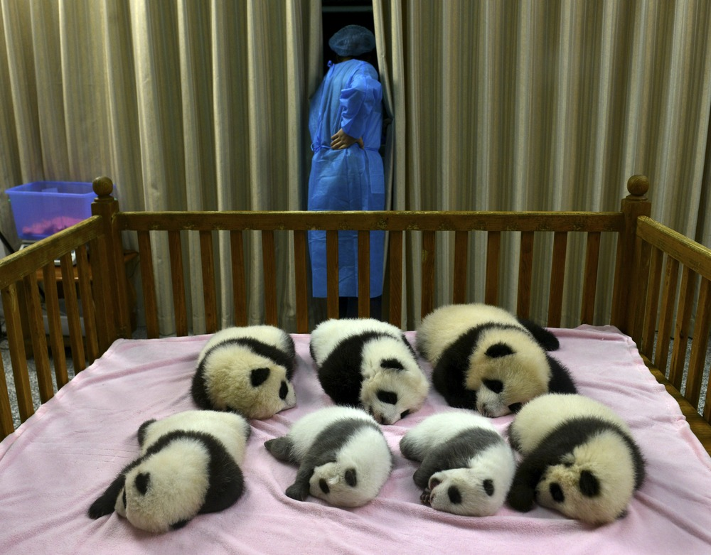 In this Tuesday, Oct. 30, 2012 photo, a researcher stands near seven panda cubs, all born in 2012, at the Chengdu Panda Base in Chengdu, in southweste...