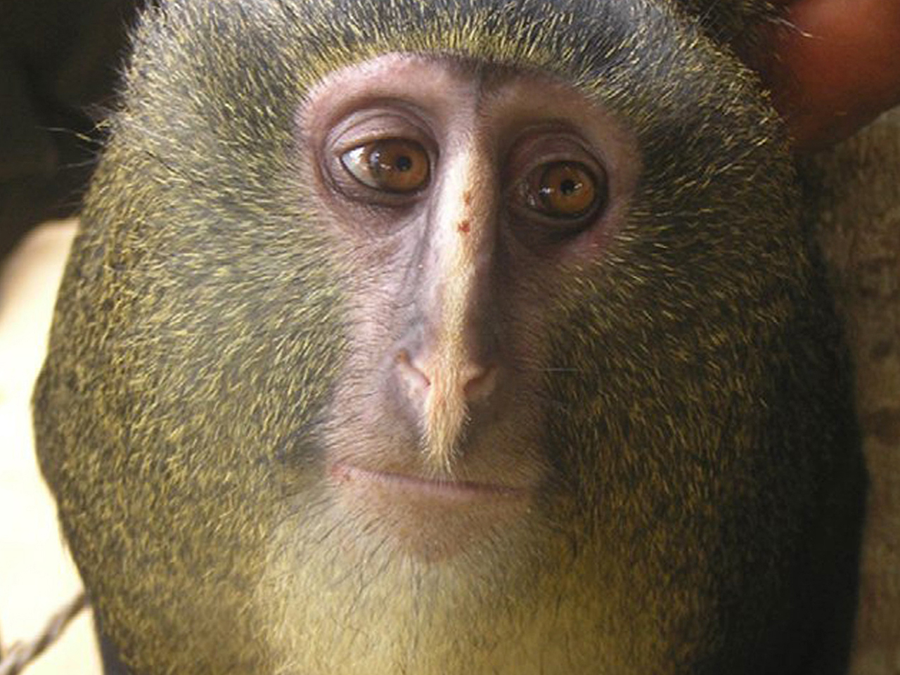 Researchers have identified a new species of African monkey, locally known as the Lesula, right, described in the Sep. 12, 2012, issue of the open acc...