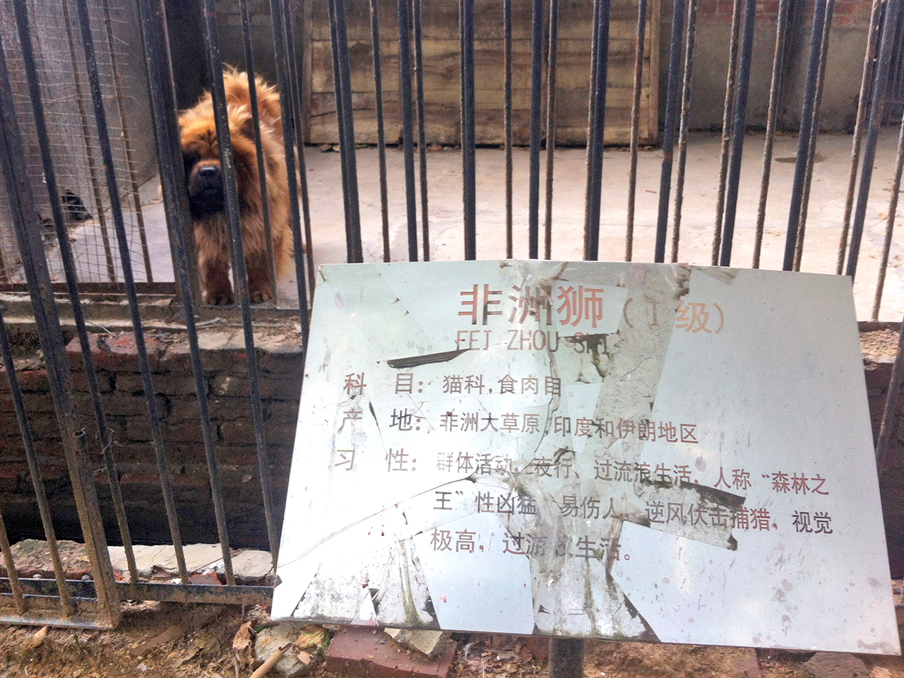 In this photo taken Monday Aug. 12, 2013, a Tibetan mastiff looks out from a cage near a sign which reads