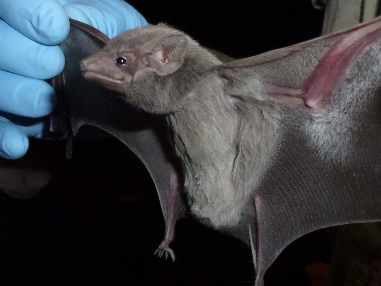 Taphozous perforates, the Egyptian Tomb bat, has been found to carry Middle East Respiratory Syndrome (MERS) virus