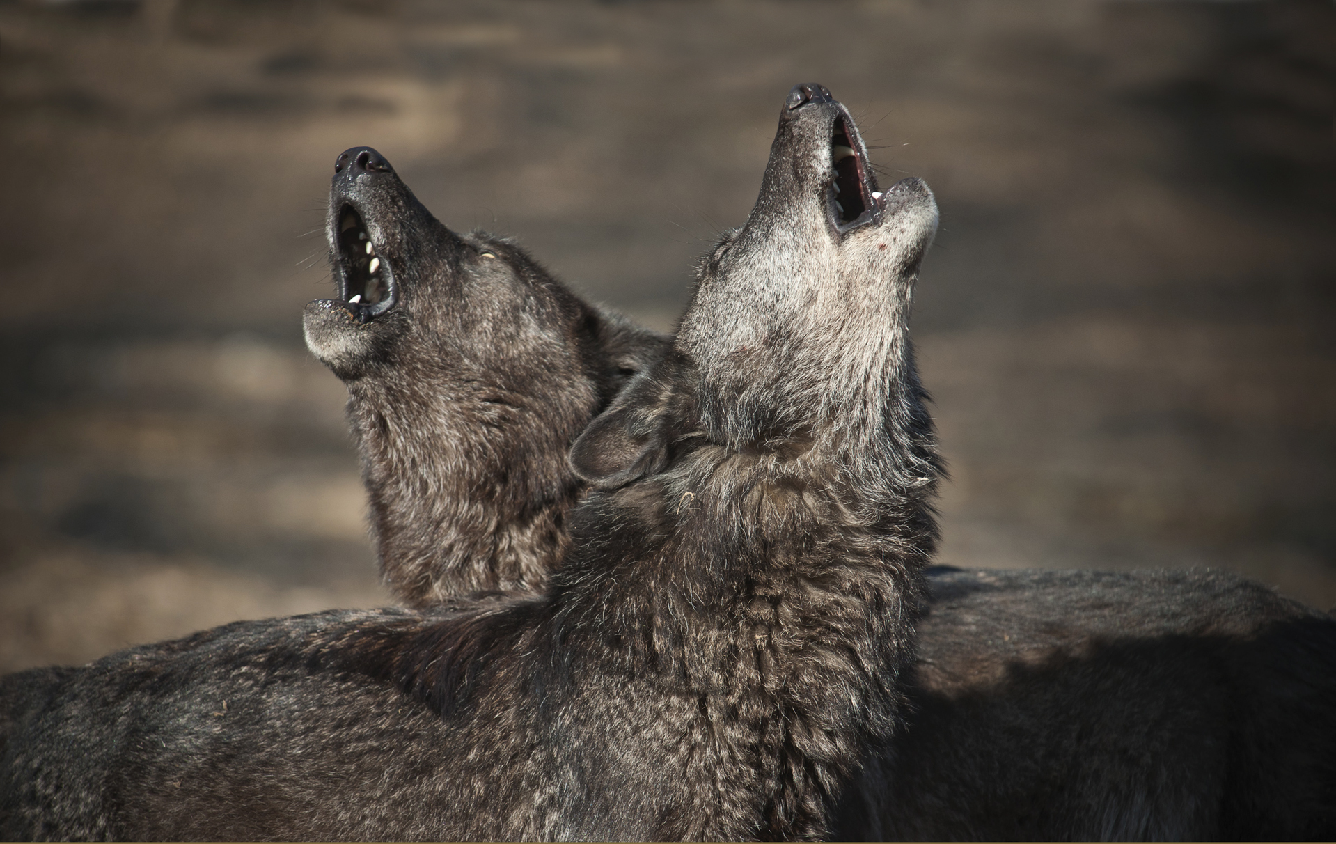 Lonely Wolf Wolves Howl When They Miss Their Friends