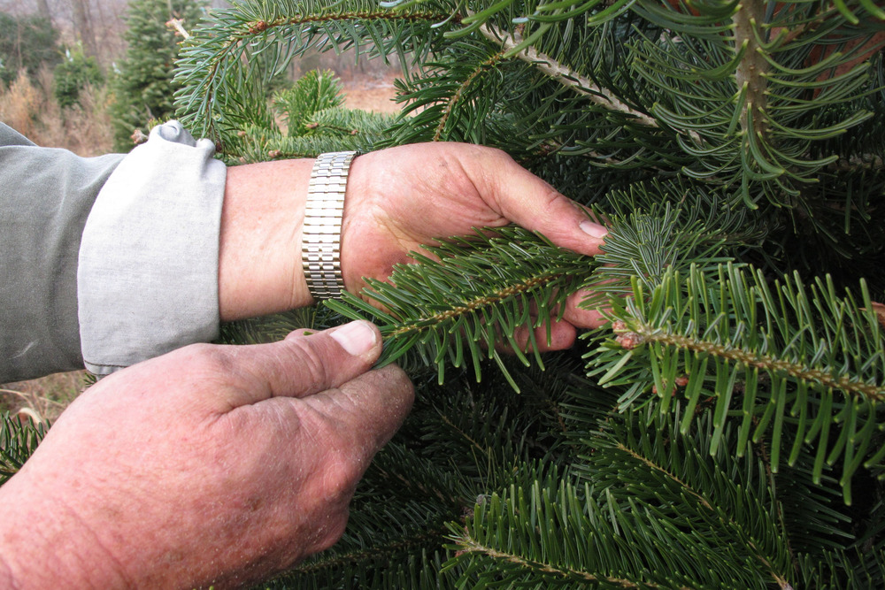 In this Nov. 16, 2013 photo, tree farmer Jeff Pollard strokes the needles of a Turkish fir on one of his farms in Bakersville, N.C.