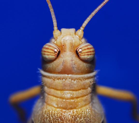 IMAGE: Locust