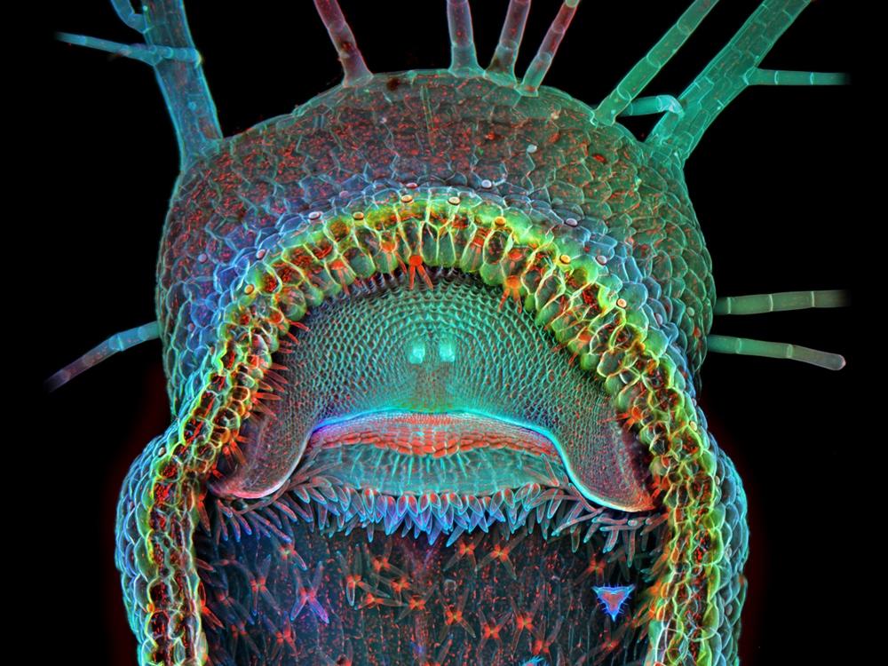 Image: Humped bladderwort