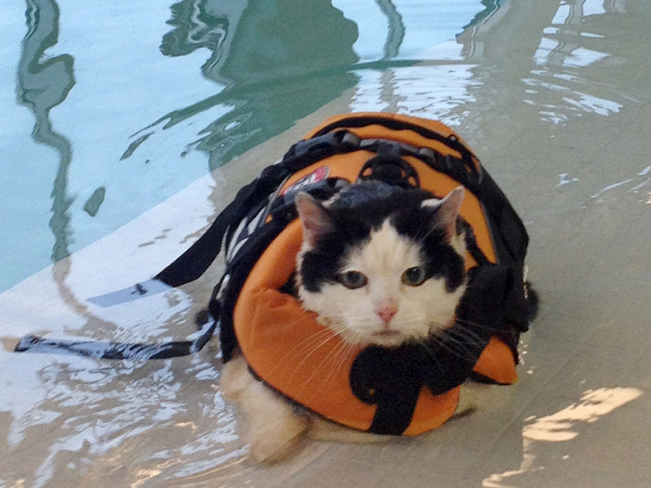 Cat In Swimming Pool : Cannonball fat cat goes swimming to shed pounds today