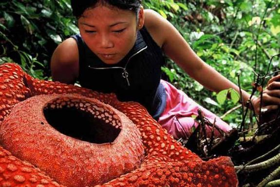 This is Rafflesia arnoldii, the largest flower on Earth, which emits a sulfur-like stench much like the corpse flower.
