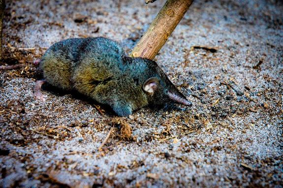Hero shrews are small, ratlike mammals that are typically found in central Africa. These shrews have extraordinarily strong backbones.