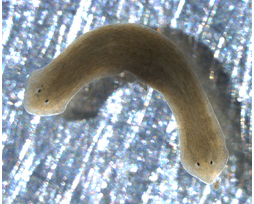 A flatworm grew two heads after it was treated with praziquantel, a drug given to people with flatworm infections.