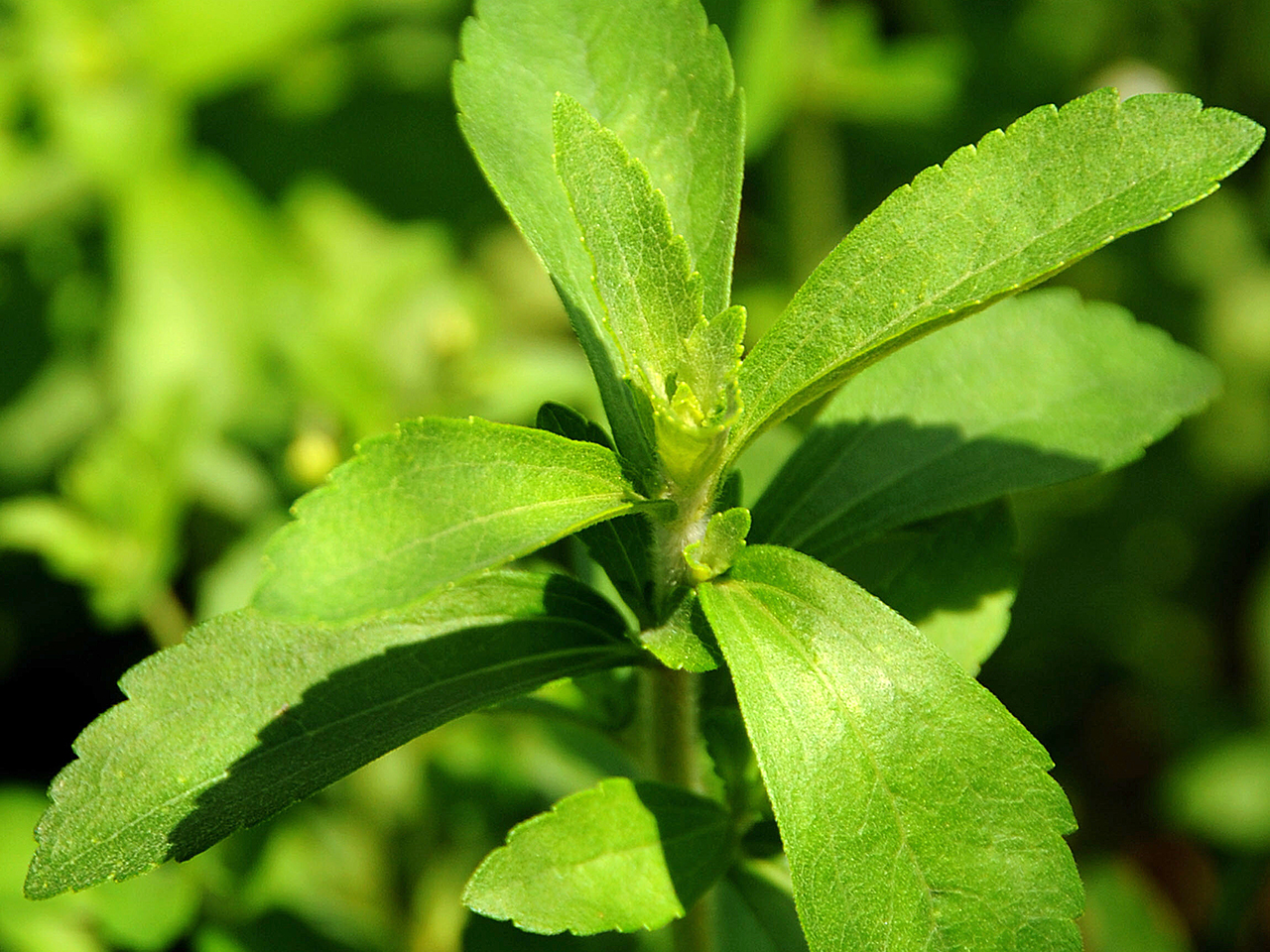 A stevia plant, known as