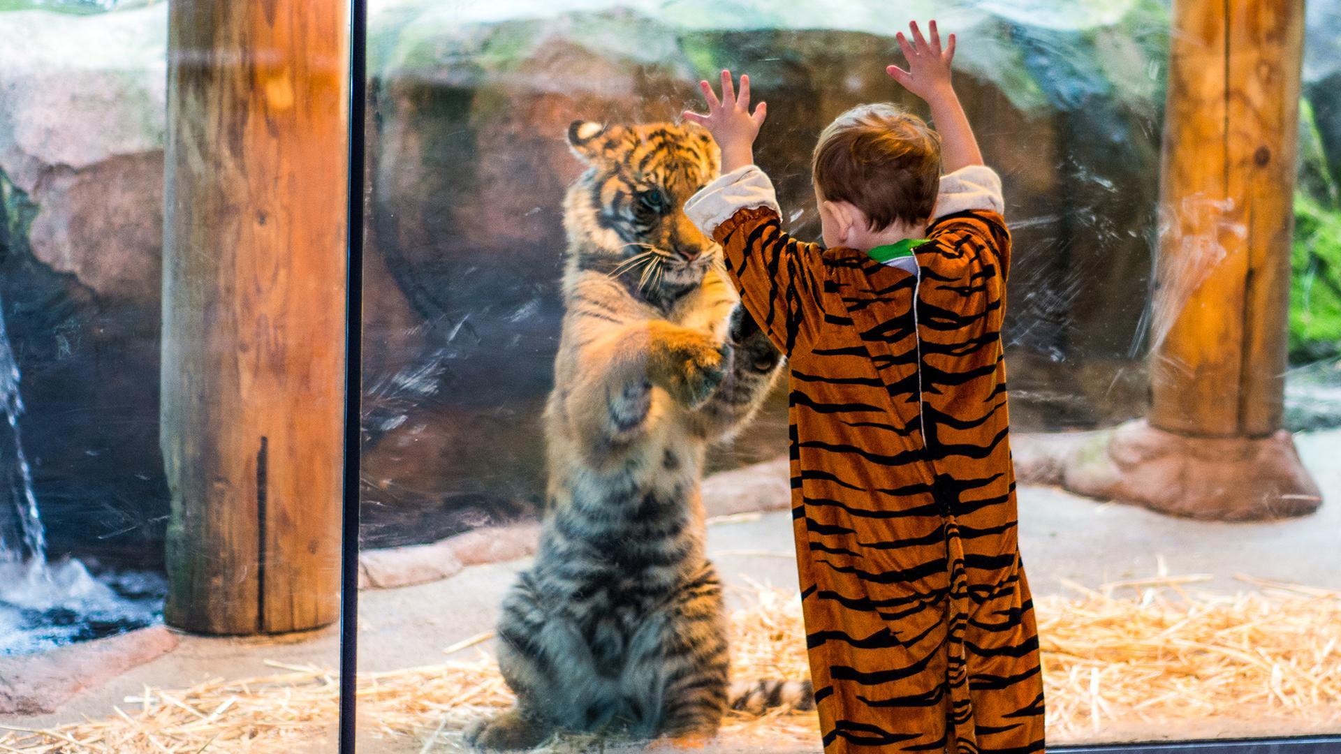 Tiger Girl Stream