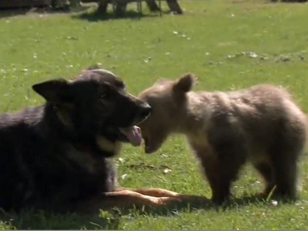 Image: German shepherd and bear cub