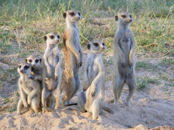 Subordinate meerkat mothers act as wet nurses in return for not being evicted from the group by the alpha female.