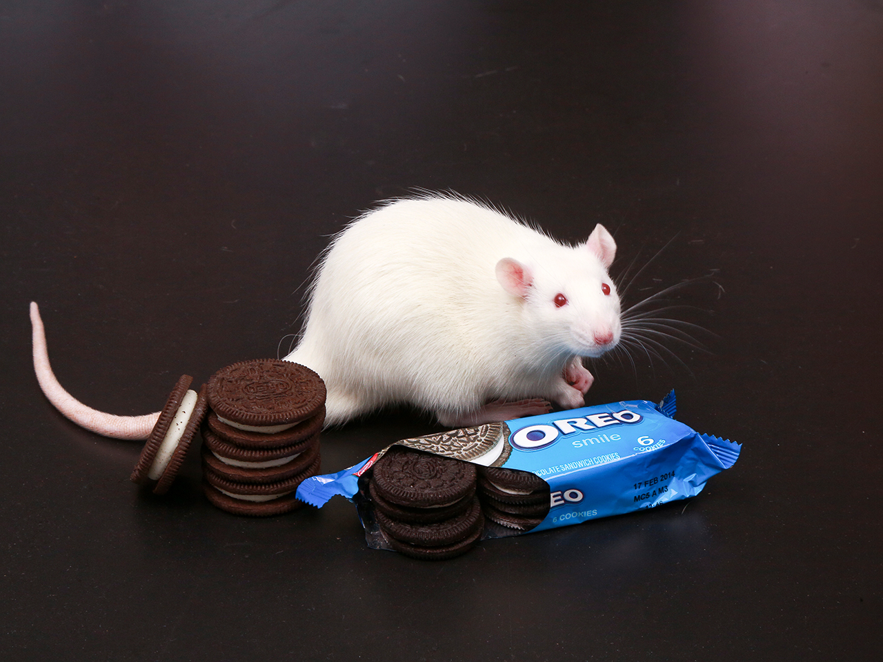 A rat and Oreos at Connecticut College in New London, Ct.