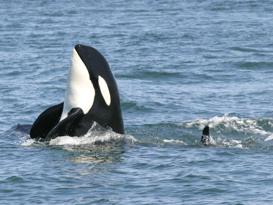 Image: Orca