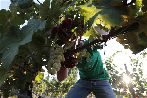 Luigi Gozzi picks grapes in the Villa Germaine vineyards of Ariccia, on the outskirts of Rome, in this 2012 file photo. Better-than-expected grape production in some E.U. countries like Spain and Italy will help make up for a shortfall in France.