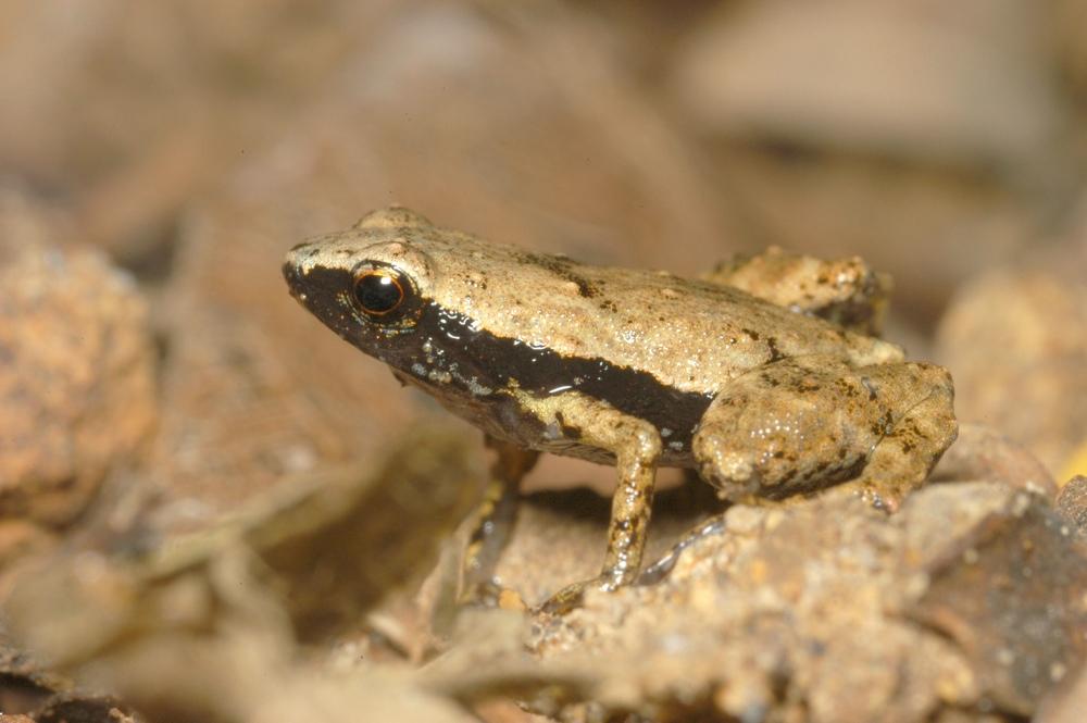 Photo of a male gardiner's frog (S. gardineri) taken in its natural habitat of the Seychelles Islands.