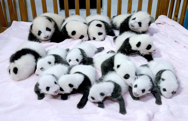 Panda Overload 14 Cute Babies Cuddle In A Crib