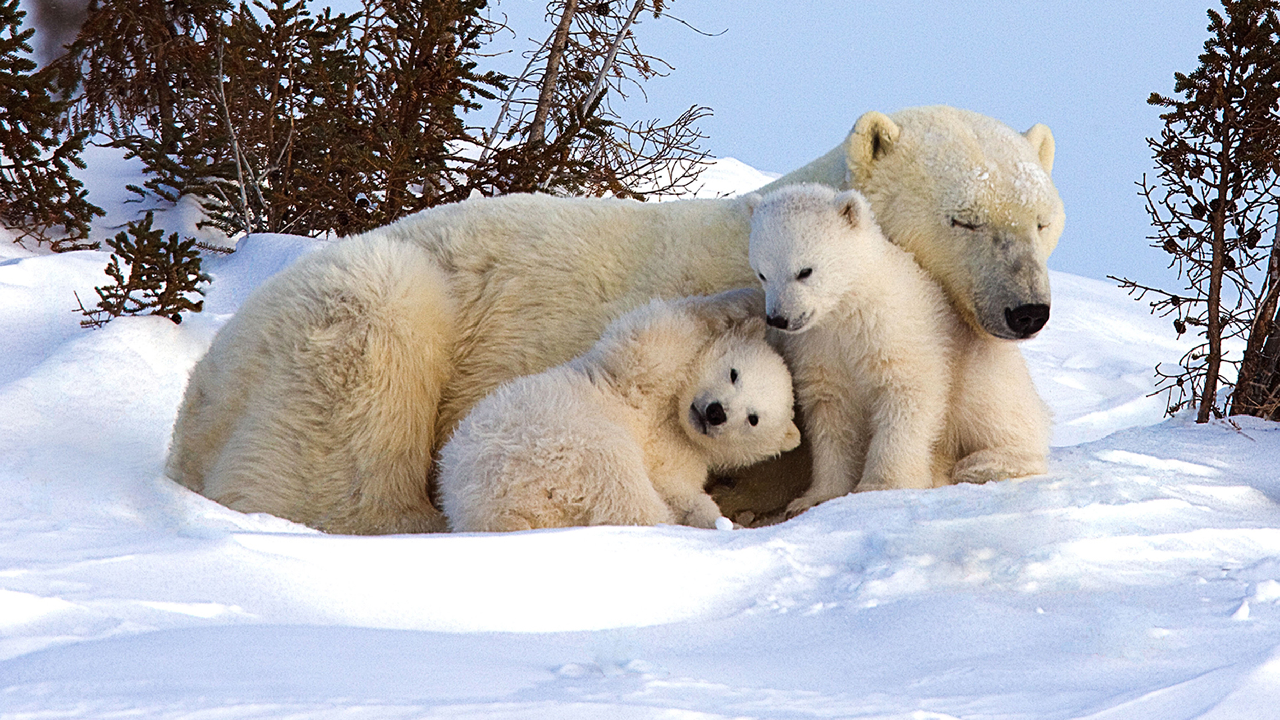 Picture Perfect! Polar Bear Family Chills Out In The Snow