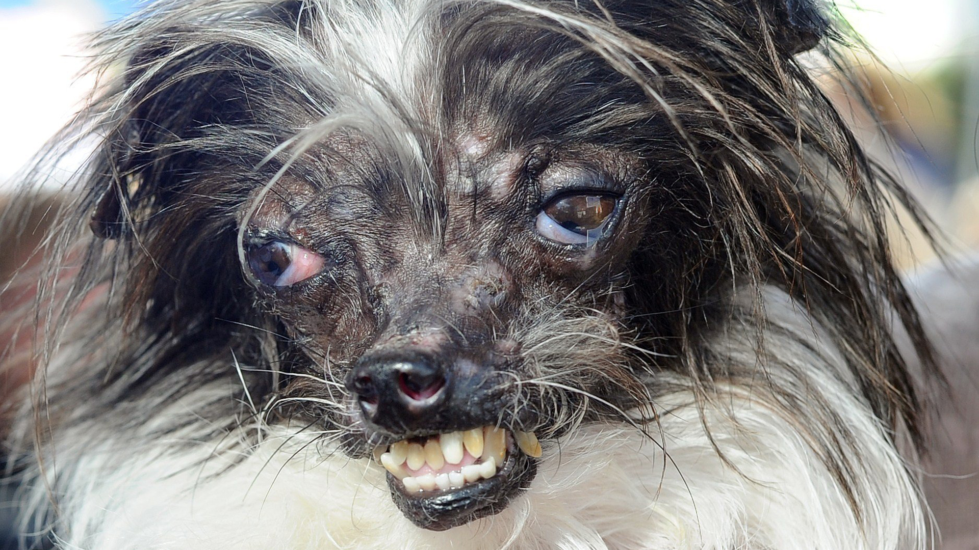 Abused Pooch Named World S Ugliest Dog Today Com