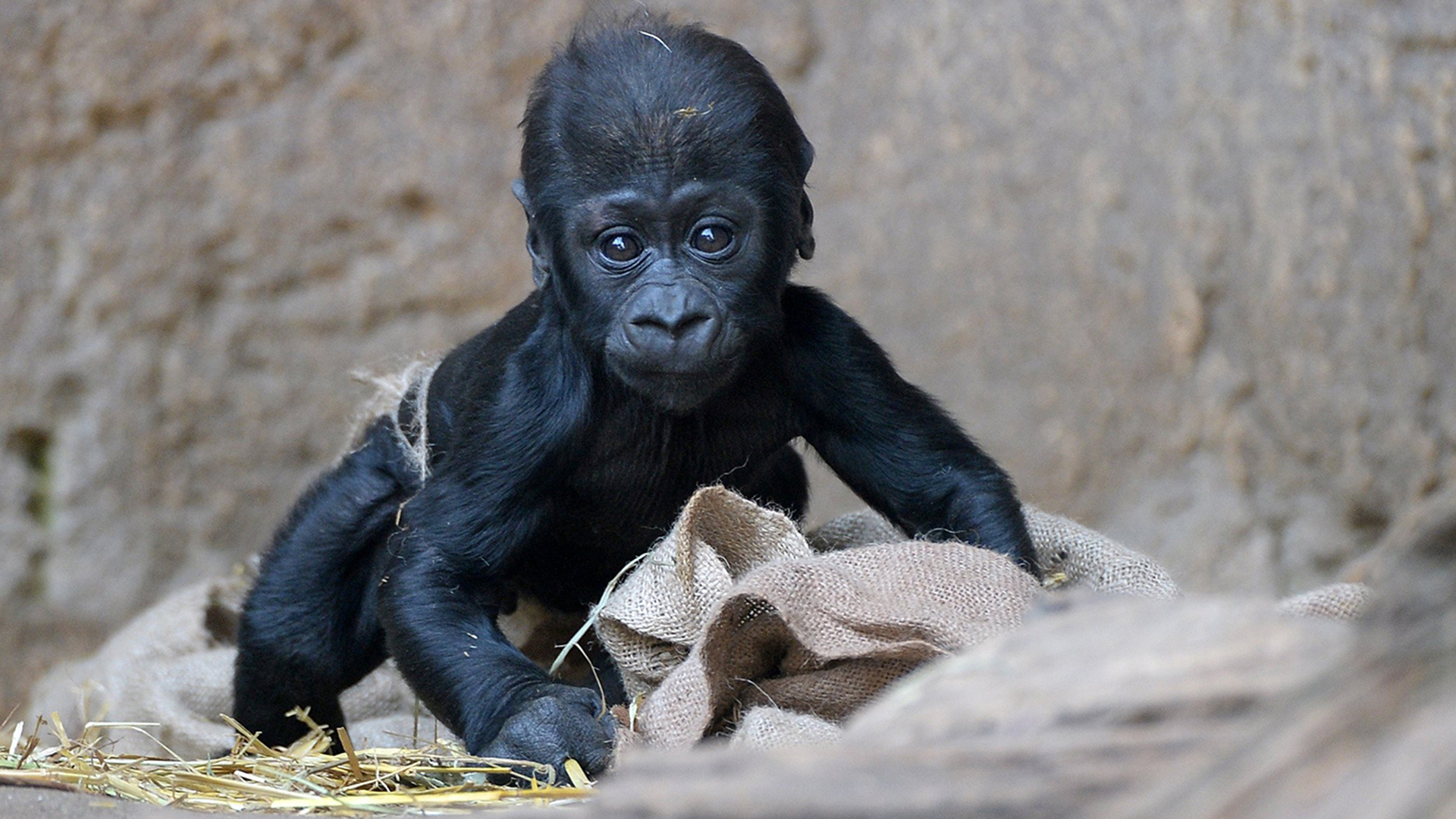 A Bright Eyed Baby Gorilla And 16 More Of This Week S Best