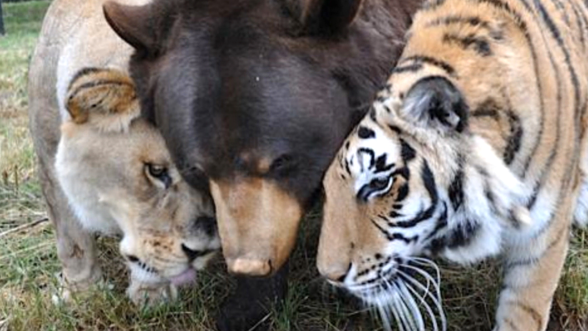 They teach you how to love': Meet the lion, tiger and bear who are ...