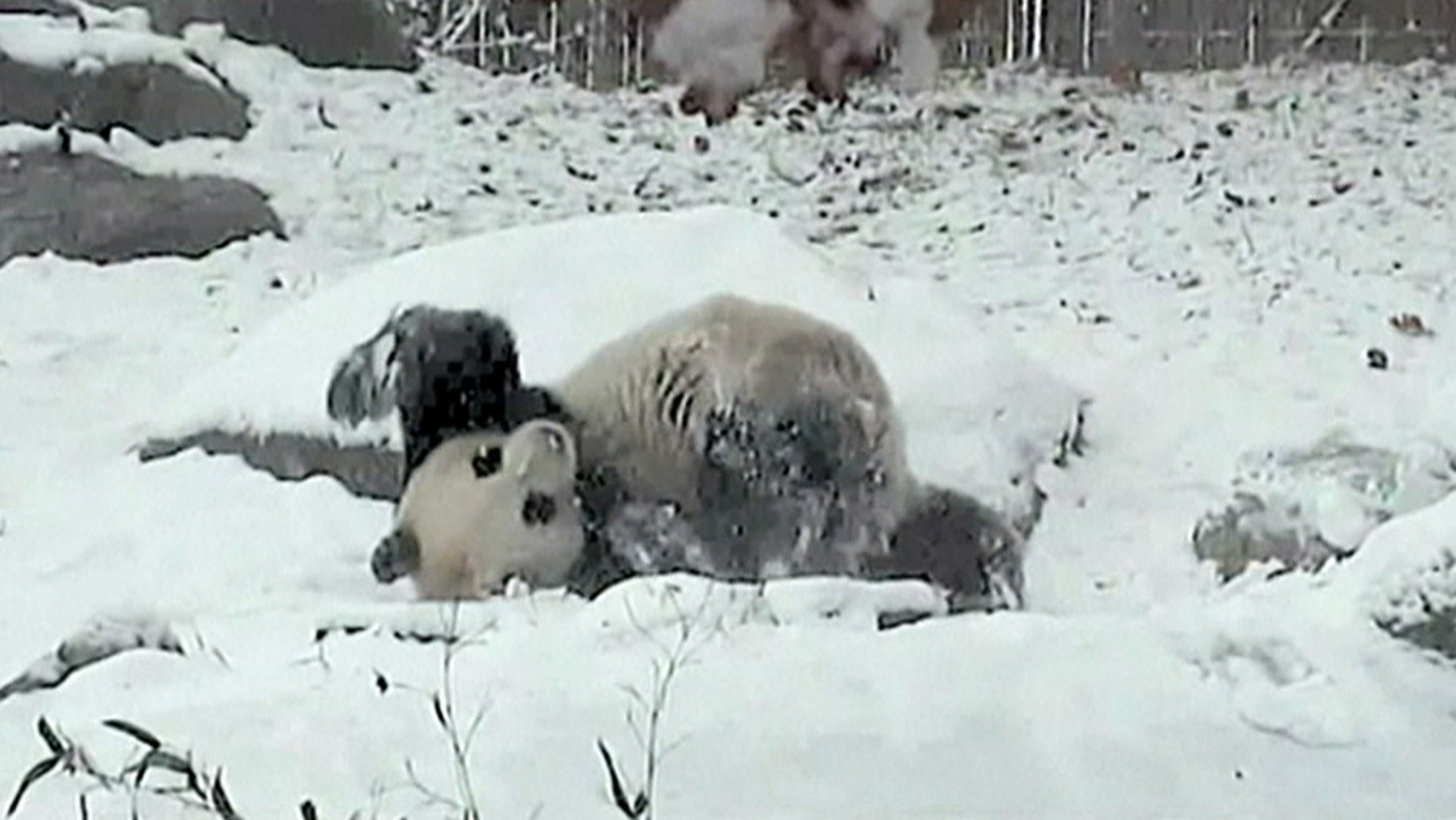 Adorable Giant Panda Tumbles Frolics In Fresh Toronto