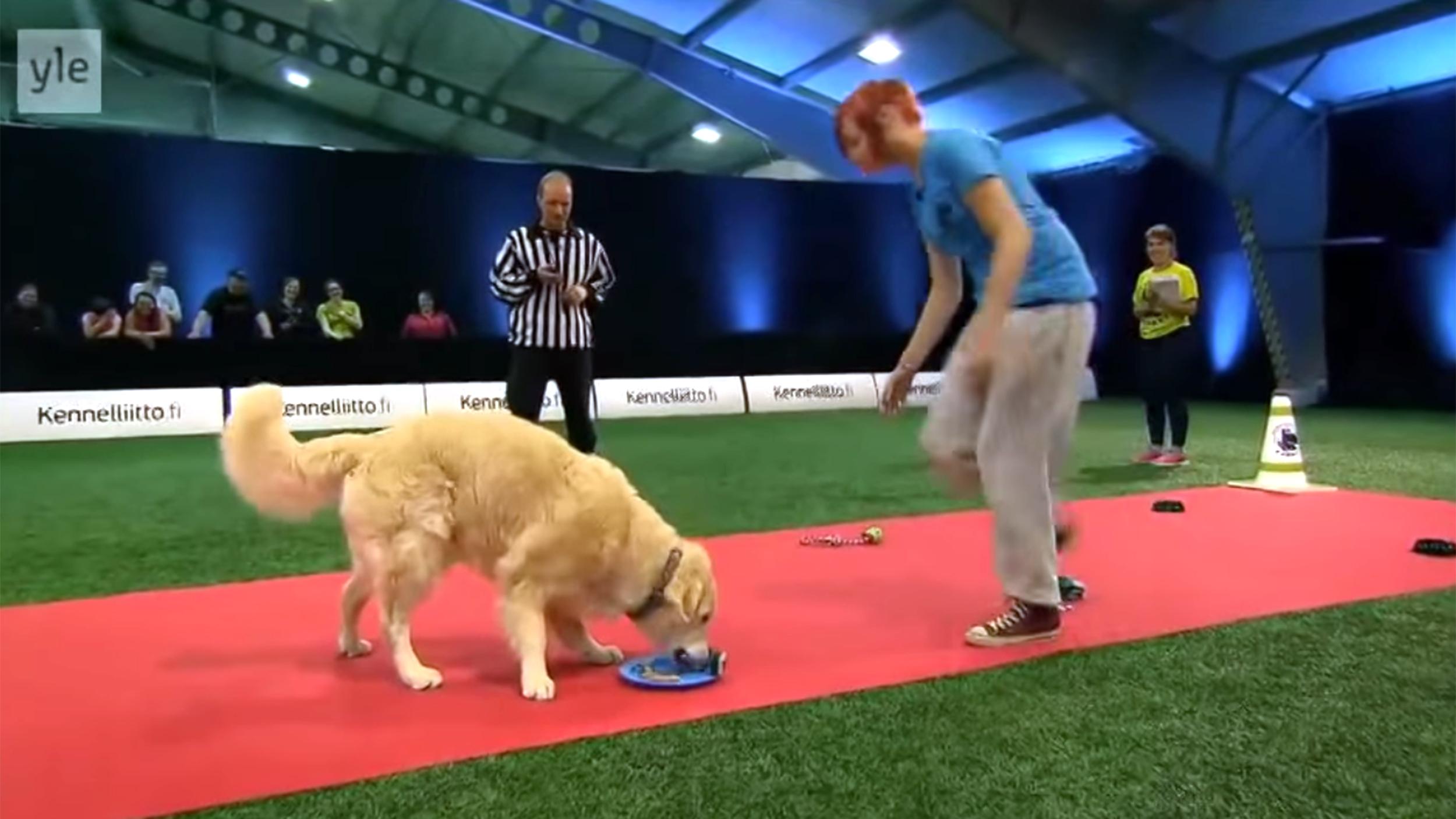 Cute Golden Retriever Picks Treats Over Obedience In Agility - Golden retriever obedience competition fail