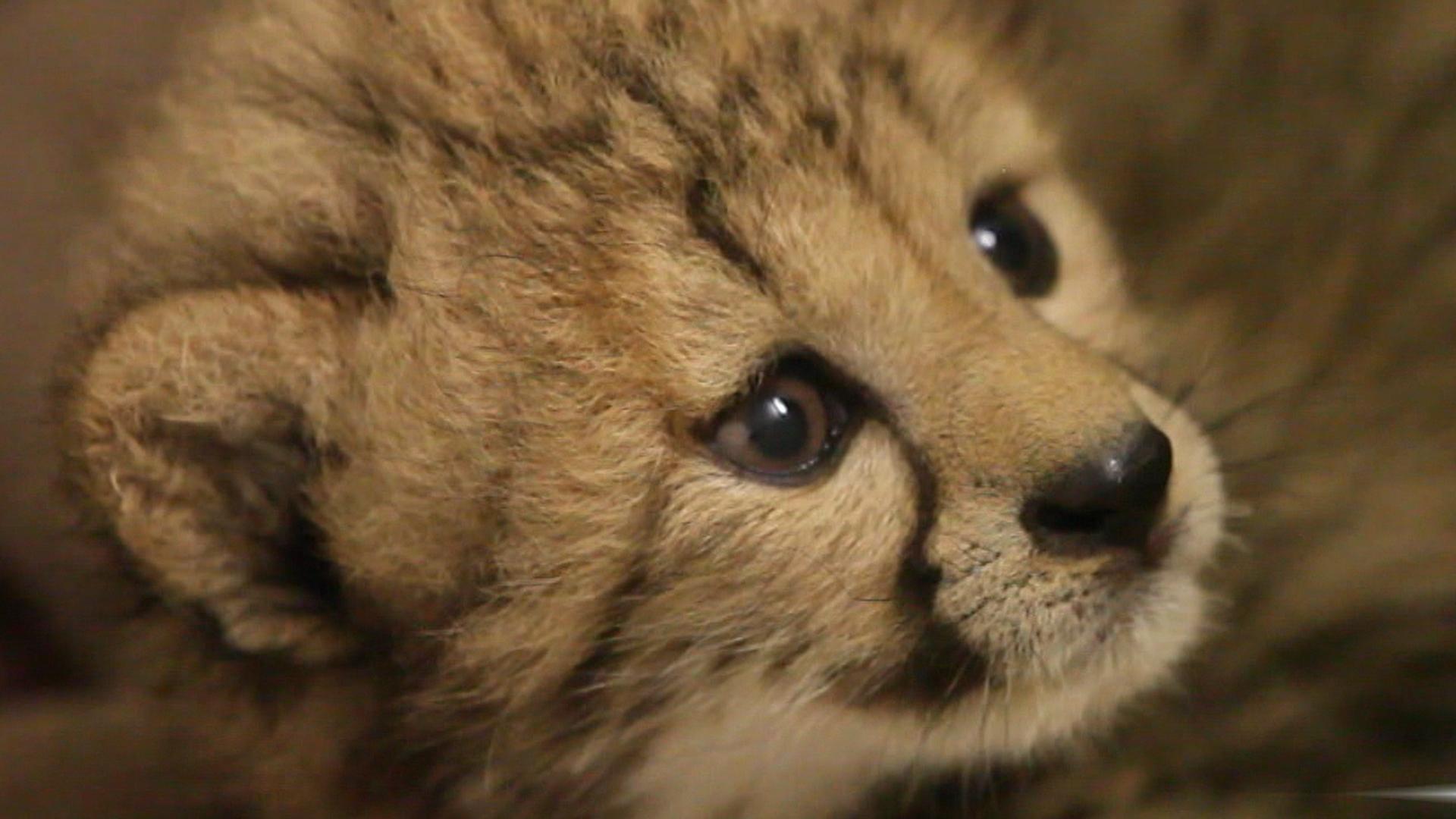 Help Name A Very Rare (and Very Cute) Cheetah Cub