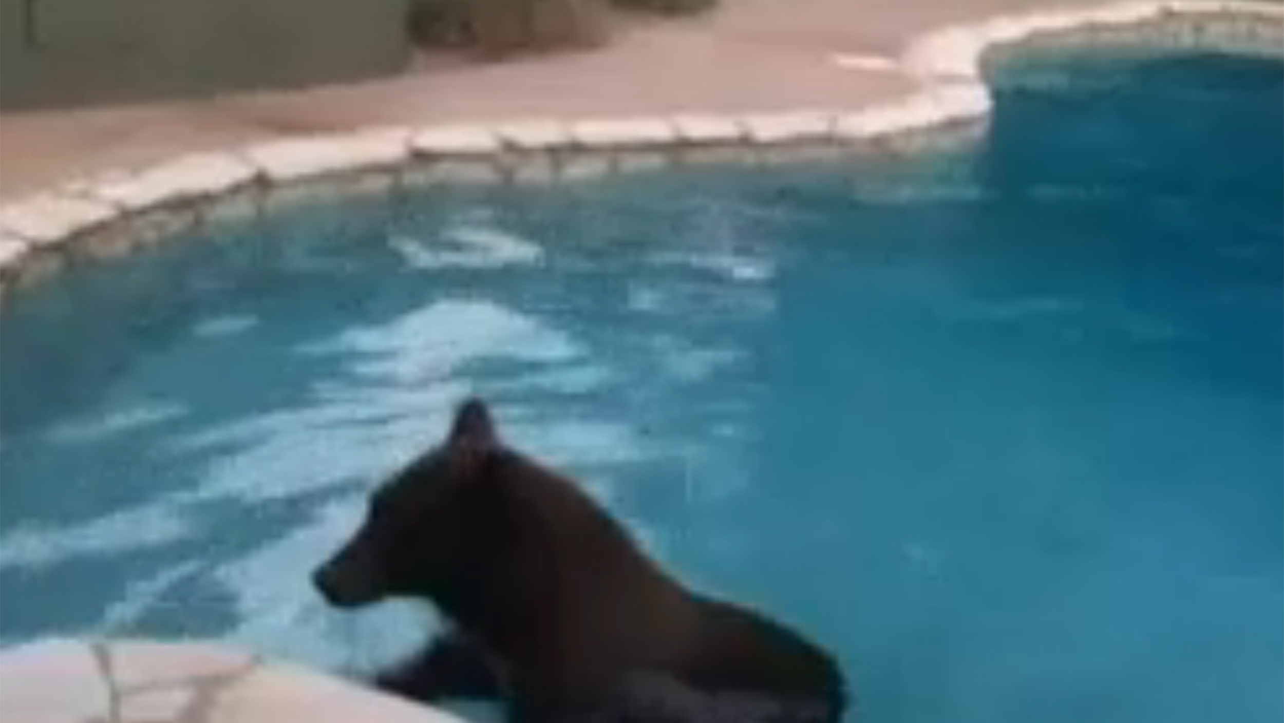 Bear takes a swim in a california homeowner 39 s pool - Pool fur kleinkinder ...